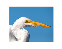 Great White Egret 01