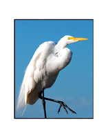 Great White Egret 02